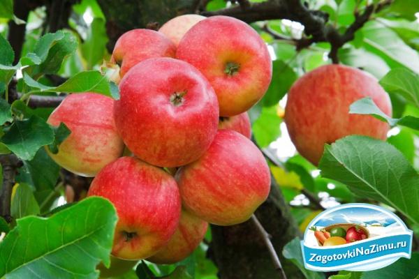Варим компот из свежих яблок