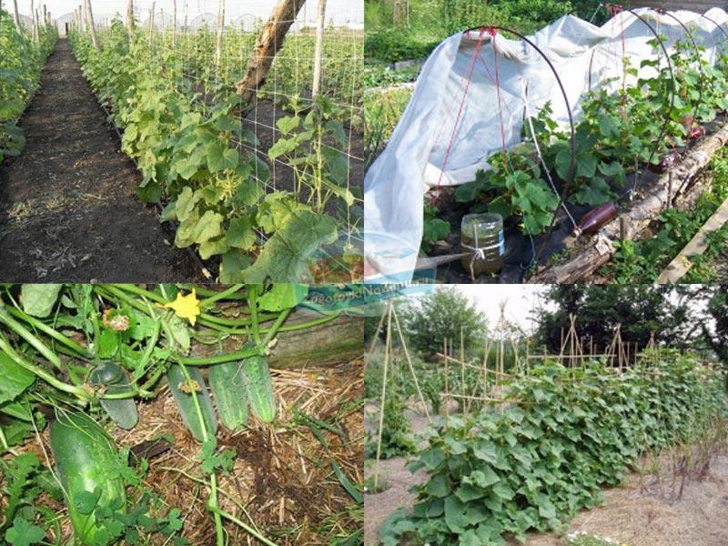 Посадка огурцов в открытый грунт семенами в 2018 году: когда и как сеять