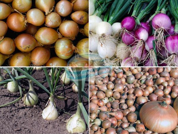 Технология выращивания лука на семена 33
