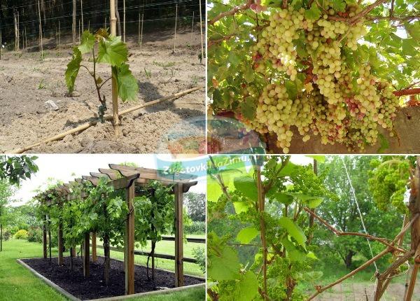 Когда весной можно сажать виноград 84