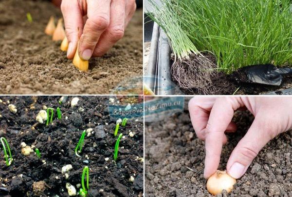 Технология выращивания лука на семена 89