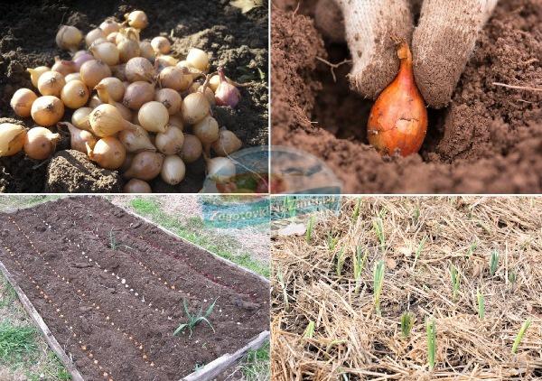 Технология выращивания лука на семена 92