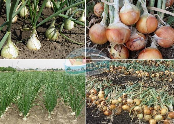 Технология выращивания лука на семена 59